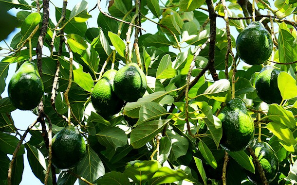aguacate-canarias-01